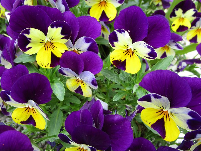 Bright springtime colorful pansy flowers close up royalty free stock photo