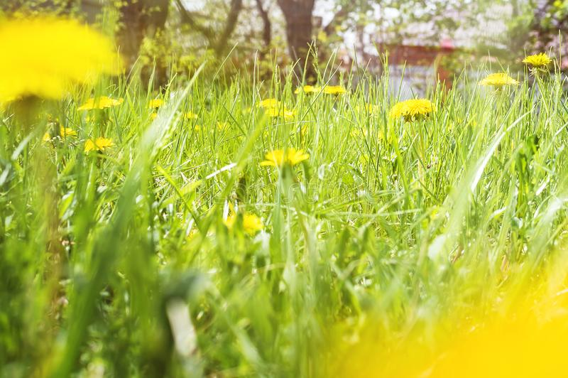 Bright summer background of grass with dandelions. Soft focus royalty free stock image