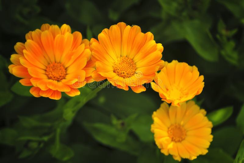 Bright summer background with growing flowers calendula, marigold. Calendula officinalis. stock photo