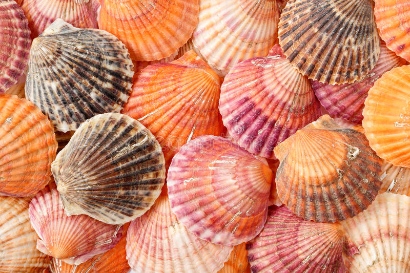 Bright summer background texture of scallop seashells. Summer background from scallop seashells in bright colors stock images