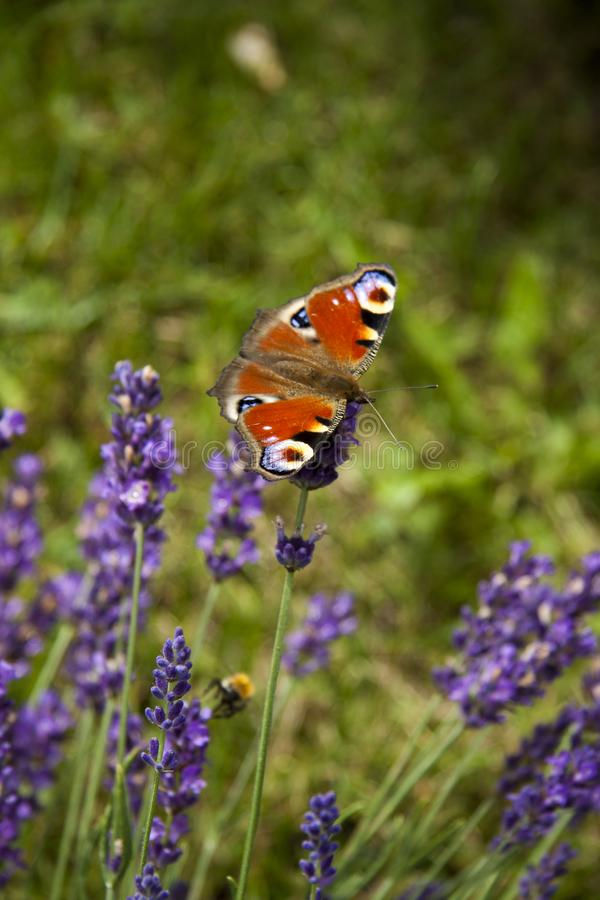 Bright summer butterfly peacock eye on the delicate purple flowers of lavender royalty free stock photos