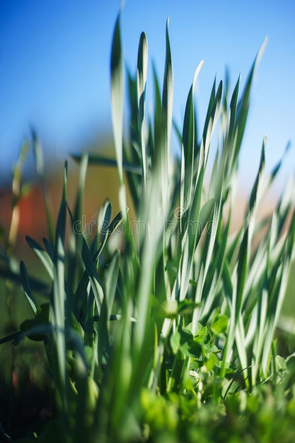 Bright summer lawn with high fresh green grass extreme close-up. Rest on the nature on a hot summer day. Soft focus and beautiful bokeh. Magical place for a stock image