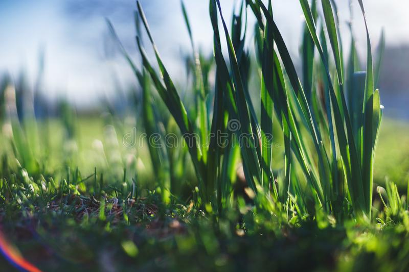 Bright summer lawn with high fresh green grass extreme close-up. Rest on the nature on a hot summer day. Soft focus and beautiful bokeh. Magical place for a royalty free stock image