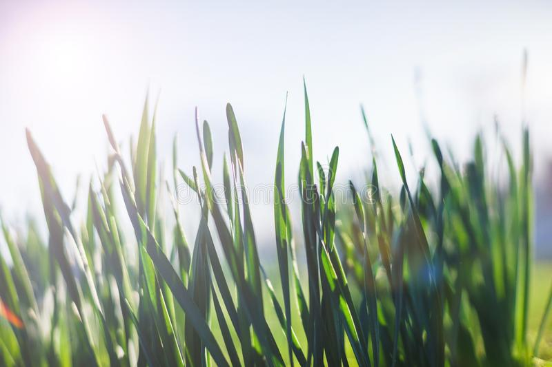 Bright summer lawn with high fresh green grass extreme close-up. Rest on the nature on a hot summer day. Soft focus and beautiful bokeh. Magical place for a stock photos