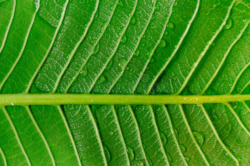 Bright sun against the back of a large tropical leaf found in my. Garden near the park. This shows water droplets after the rain storm and reminds us to protect royalty free stock photos
