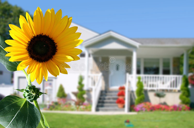 Bright sunflower. In front of a country house