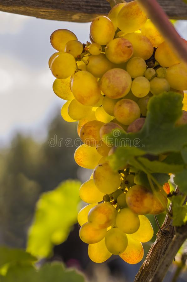 Bright sunlight illuminates the ripe white grapes growing on the vine royalty free stock images