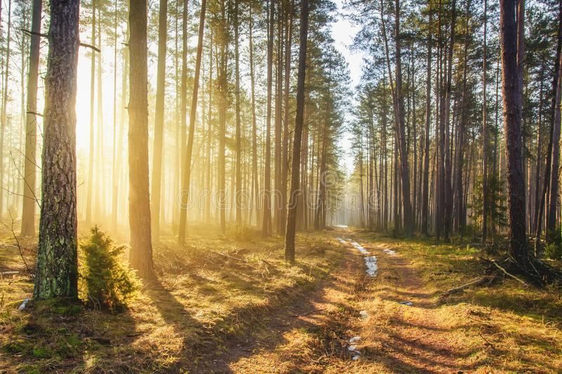 Bright sunlight in spring forest. Morning landscape of green forest. Picturesque forest road. Woodland with vivid sunbeams. Natural nature stock photography