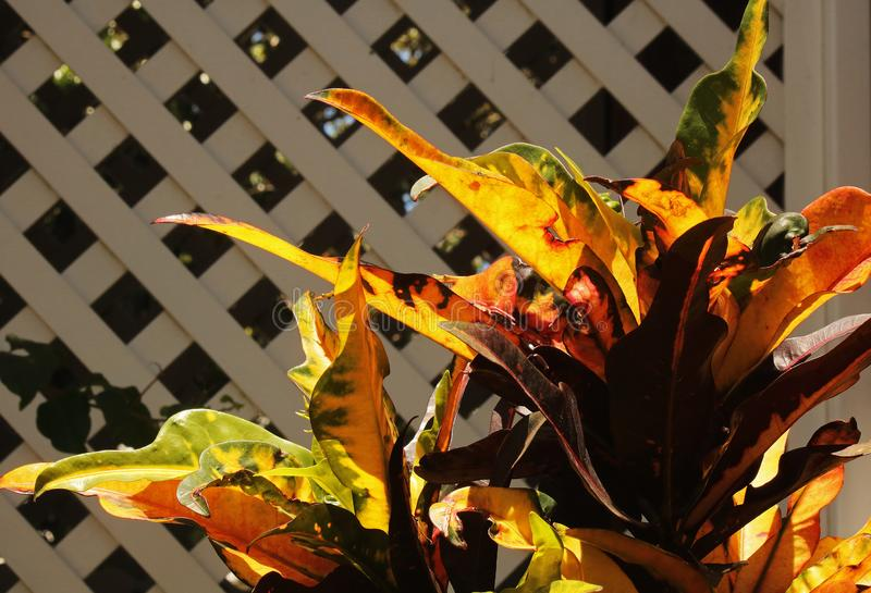 BRIGHT SUNLIGHT ON YELLOW AND RED CROTON PLANT royalty free stock photography