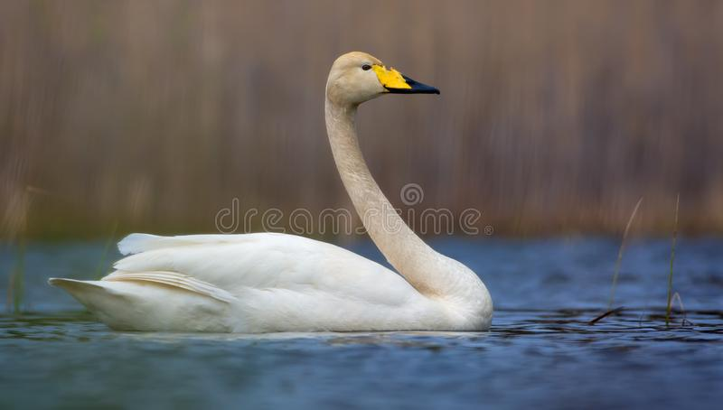 Bright sunny picture of mature whooper swan swimming on blue colored water of lake royalty free stock photography