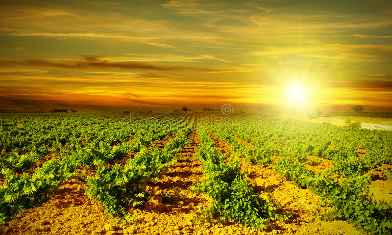 Download Bright Sunset At Vineyard Royalty Free Stock Photography - Image: 21283297