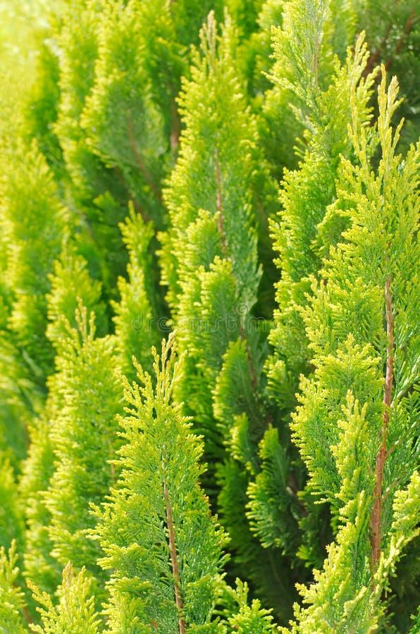 Bright Thuja Closeup stock photos