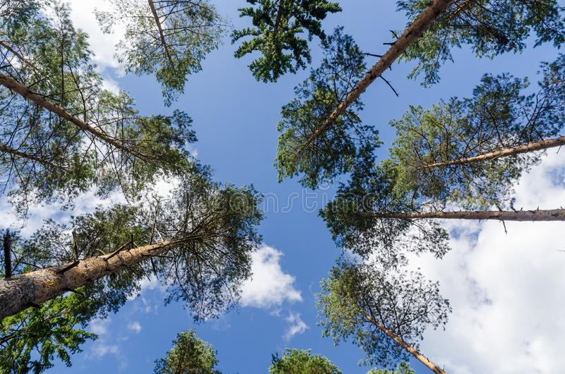 Bright tree tops from low perspective. Bright tree tops in a pine tree forest in a low perspective image royalty free stock photo