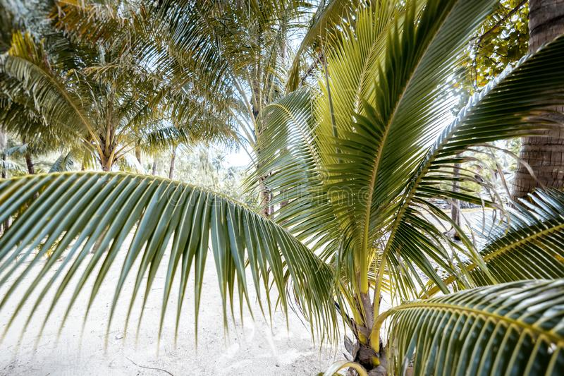 Bright tropical background and texture, palm tree closeup, holidays in warm countries. Bright tropical background and texture, palm tree closeup, holidays royalty free stock image