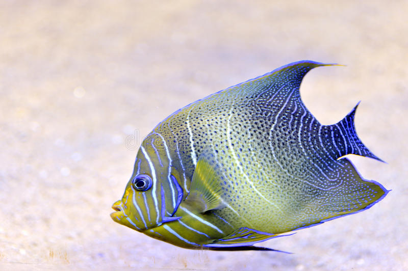 A bright tropical fish. Inside of an aquarium royalty free stock photography