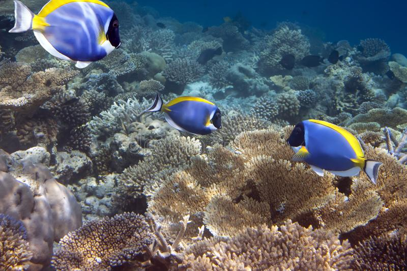 Bright tropical fish surgeon acanthurus Powder blue tang over a coral reef stock photography