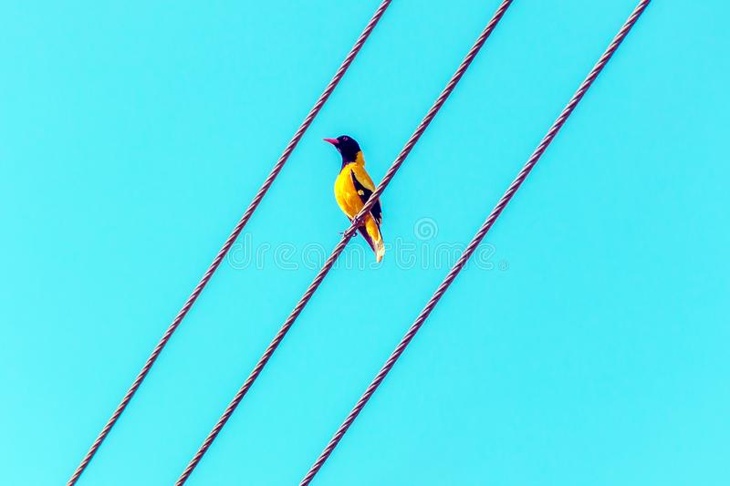 Bright tropical yellow bird with black head on the wires. Black-headed oriole, Oriolus xanthornus ceylonensis. Bird on wire. Minimal natural background stock photography