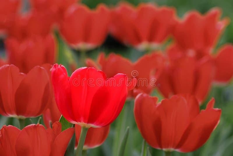 Bright Tulip stock image