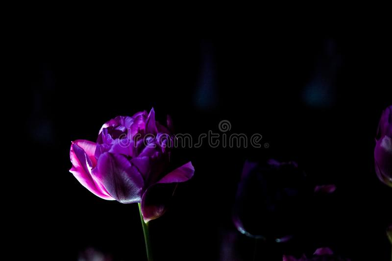 Bright and unusual tulips on a monophonic black background. Night photographing in a garden with flowers. stock photos