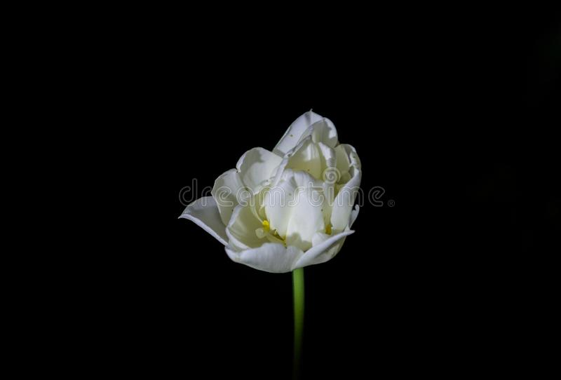 Bright and unusual tulips on a monophonic black background. Night photographing in a garden with flowers. stock images
