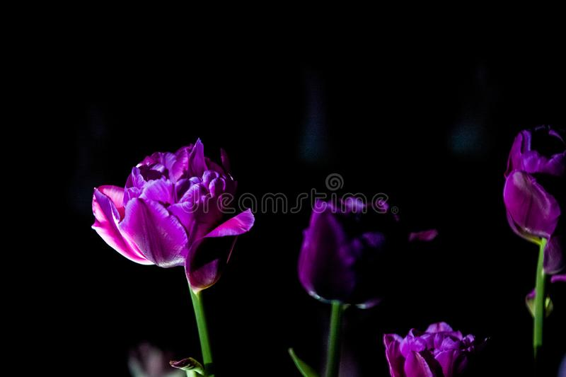 Bright and unusual tulips on a monophonic black background. Night photographing in a garden with flowers. stock photo