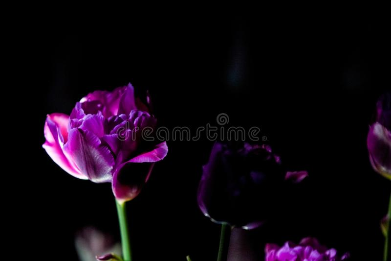 Bright and unusual tulips on a monophonic black background. Night photographing in a garden with flowers. stock image