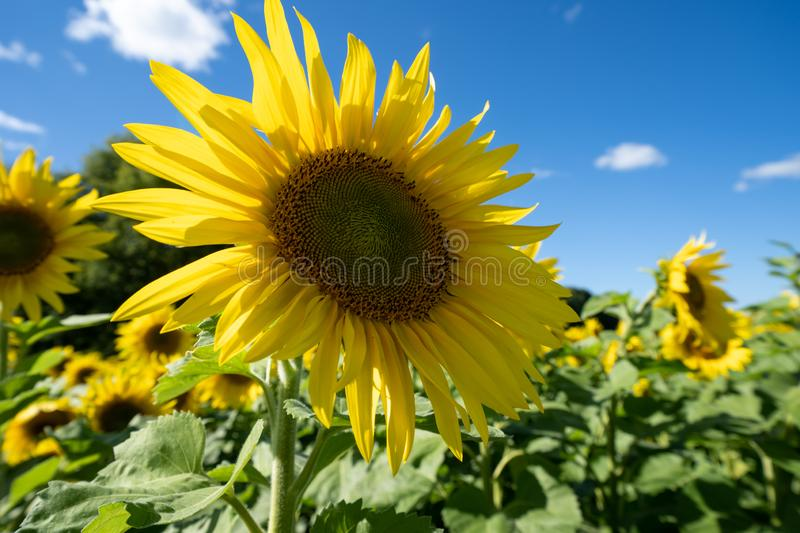 Bright, vibrant sunflower looking up at the blue summer sky.  stock photography