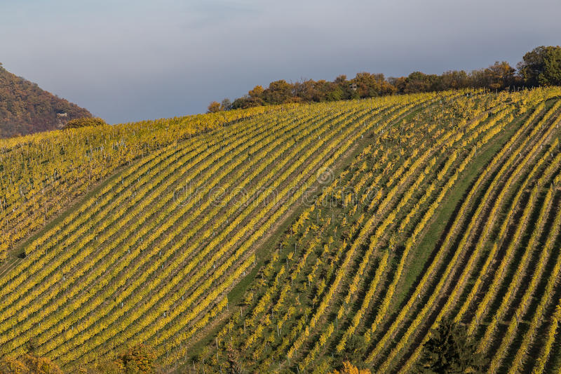 Bright Vineyard Plantations and Rolling Hills in the Autumn Mont royalty free stock images