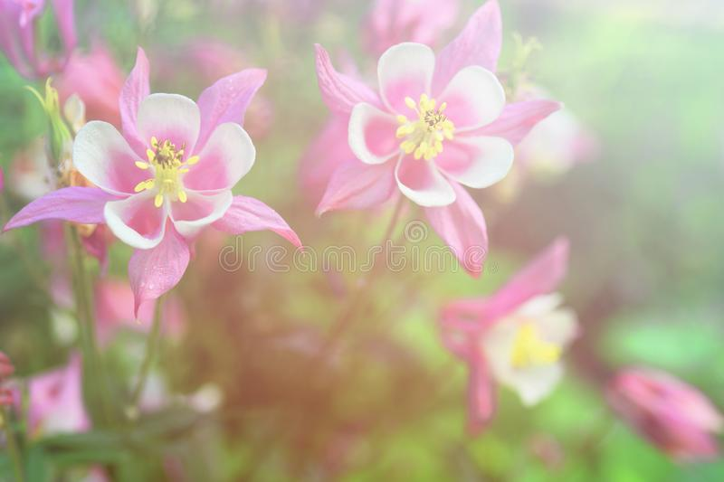 Bright vintage floral background with a beautiful pink and white flowers Aquilegia. Bright vintage floral background with a beautiful pink and white flowers royalty free stock photography
