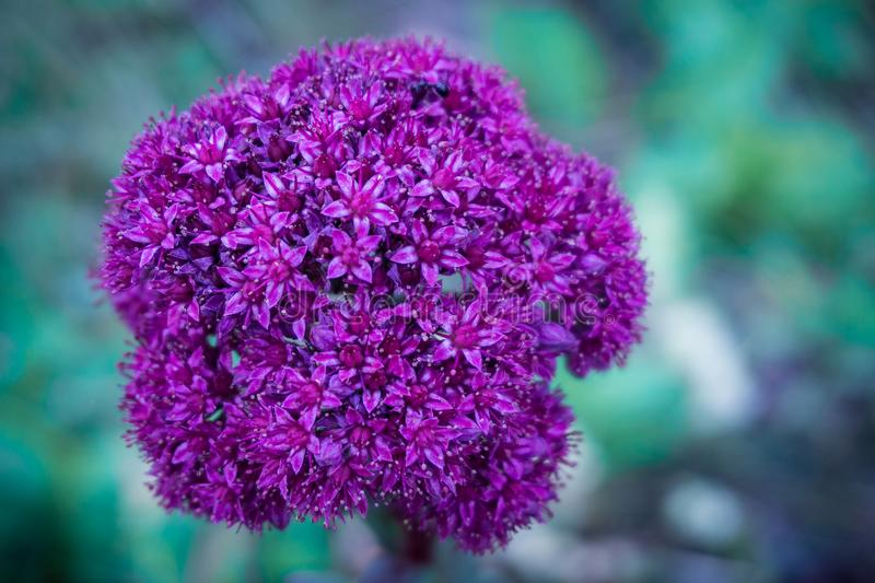 Close-up image of an ultra violet flower. Bright-violet flower on an emerald background. Inflorescence in the form of a ball and consists of many small flowers stock image