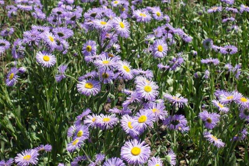 Bright violet flowers of Erigeron speciosus. In June stock image