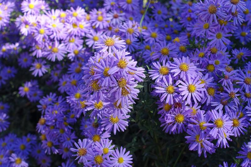 Bright violet flowers of Michaelmas daisies. In autumn stock photography