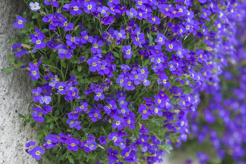 Bright violet flowers on the stone wall. Close up, selective focus stock image