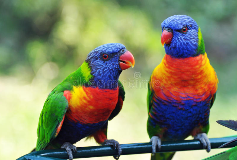 Bright vivid colors of Rainbow Lorikeets birds native to Australia. A pair of Rainbow Lorikeets that have flown in for feeding at the famous Currumbin Wildlife
