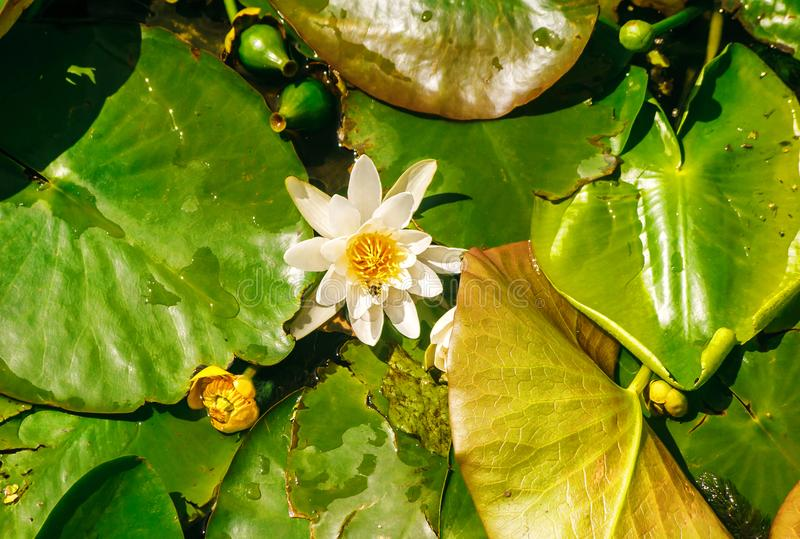 Water lilies in the pond. Bright water lilies in the pond in the city park on sunny summer day stock photo