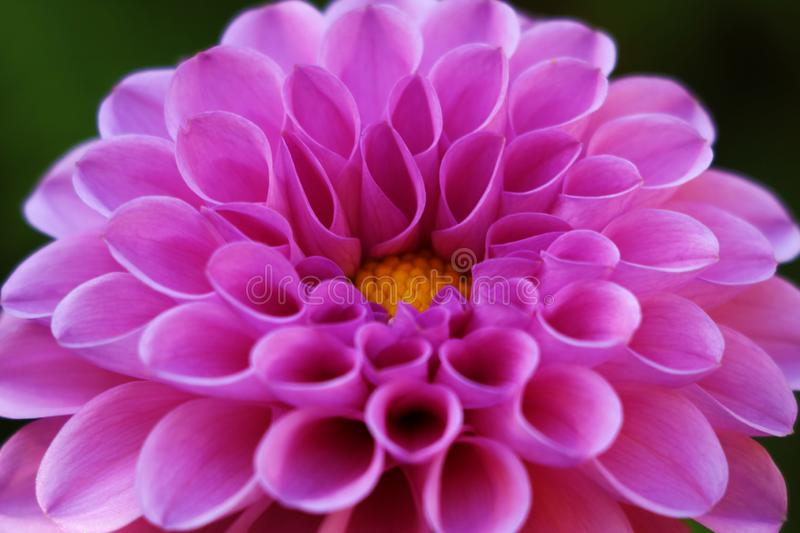 Bright wedding bouquet of summer dahlias pink, flower, macro photo.  royalty free stock images