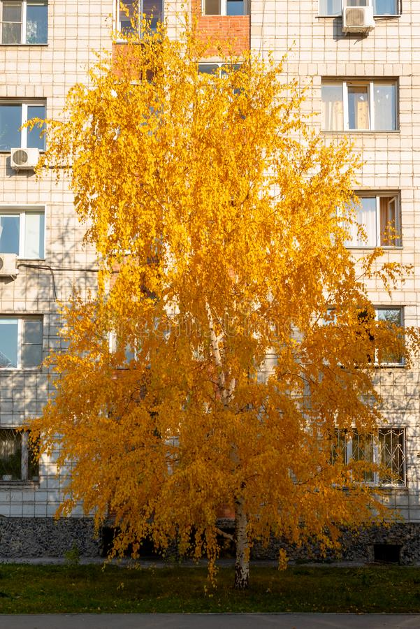 Bright white birch with yellow leaves growing near a residential large city house. stock photo