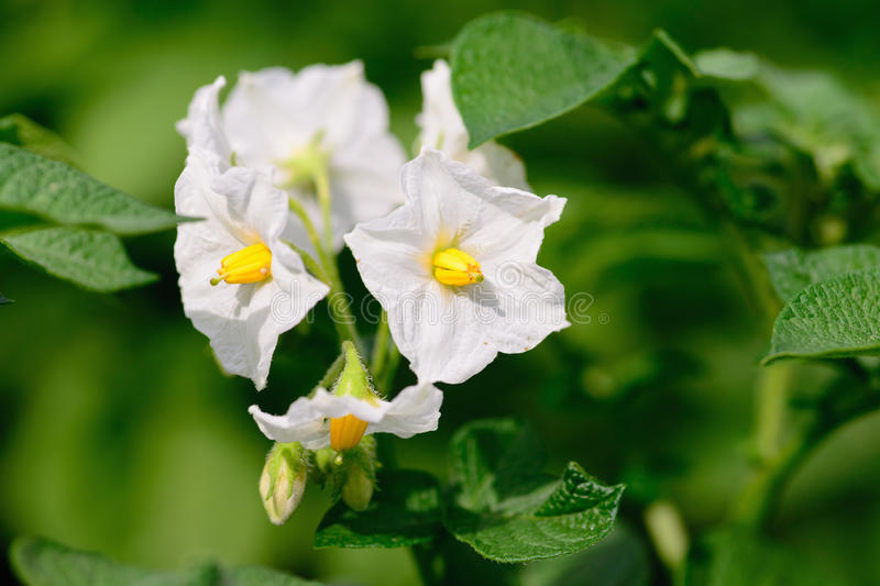 Bright white flowers on a background of green potato leaves stock photography
