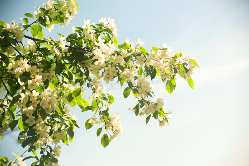 Bright white flowers on the tree with backlight stock photos