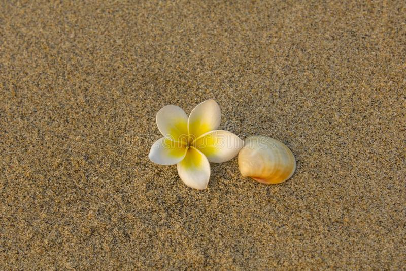 Bright white frangipani plumeria flower and beige shell lie on the blurred yellow sand. natural surface texture royalty free stock image