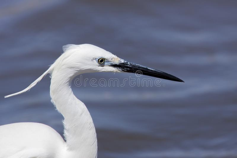 Little egret head shot royalty free stock photo