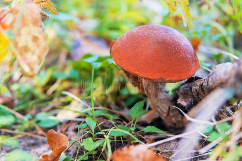 Bright white mushroom with orange cap Leccinum or Boletus grow in the forest. Bright white mushroom with orange cap Leccinum or Boletus grow in the autumn forest stock image