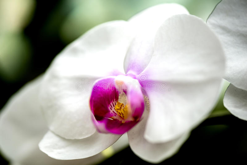 Bright white orchid flower in the garden. Beautiful white orchid flower in the garden. The petals of the bloom are fresh and bright attracting the local honey stock photography