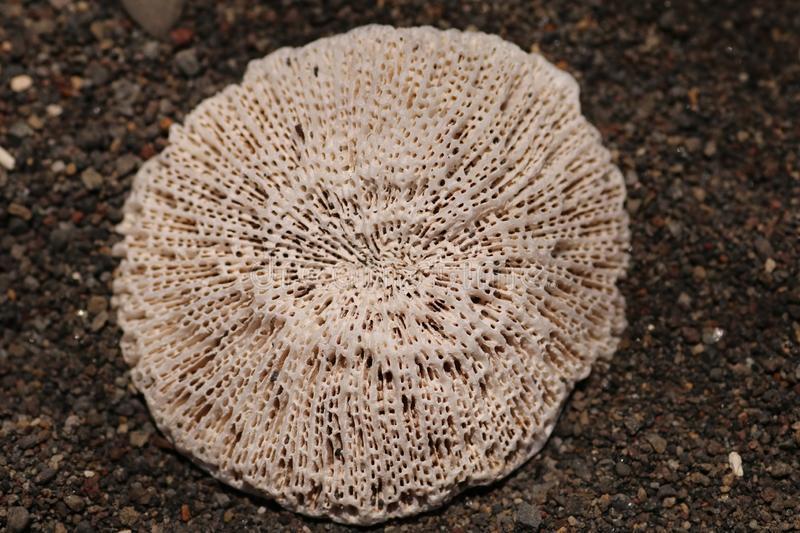 Bright white sea coral with a porous surface on a black volcanic sand beach. The cultured shape resembles a mandala. Perfect backg. Round and concept for your royalty free stock image