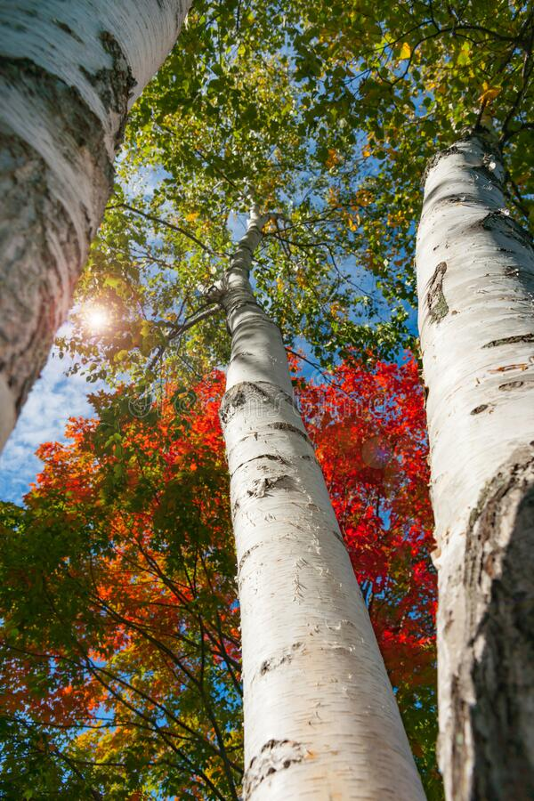 Bright white trunks of birch trees against brilliant autumn foliage colors of New England fall from low angle point of view.  royalty free stock photography