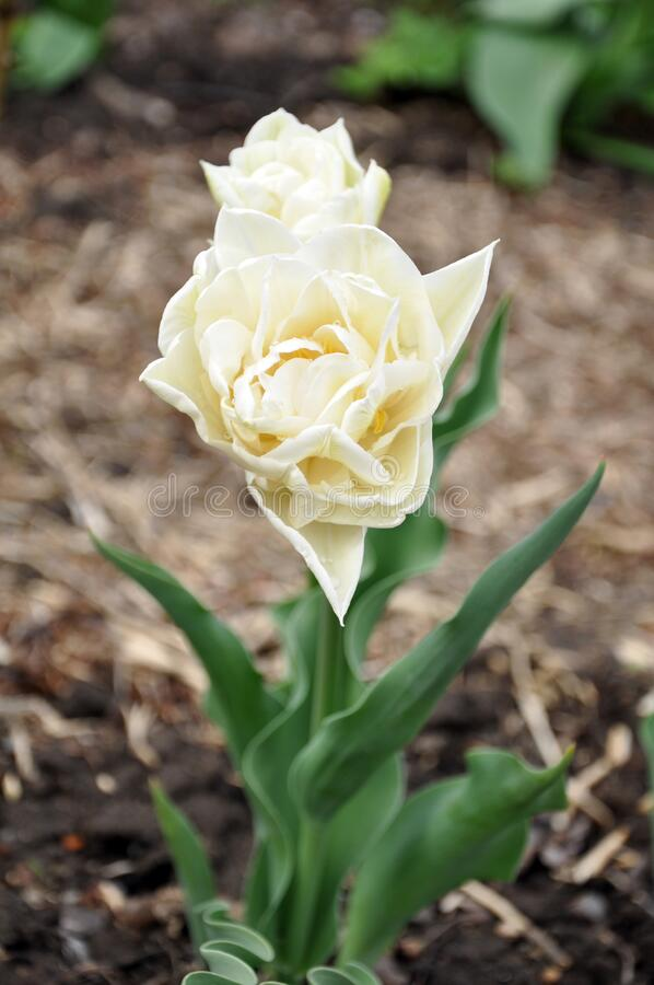 Bright white tulip in the garden. Bright white tulip in the spring garden stock image
