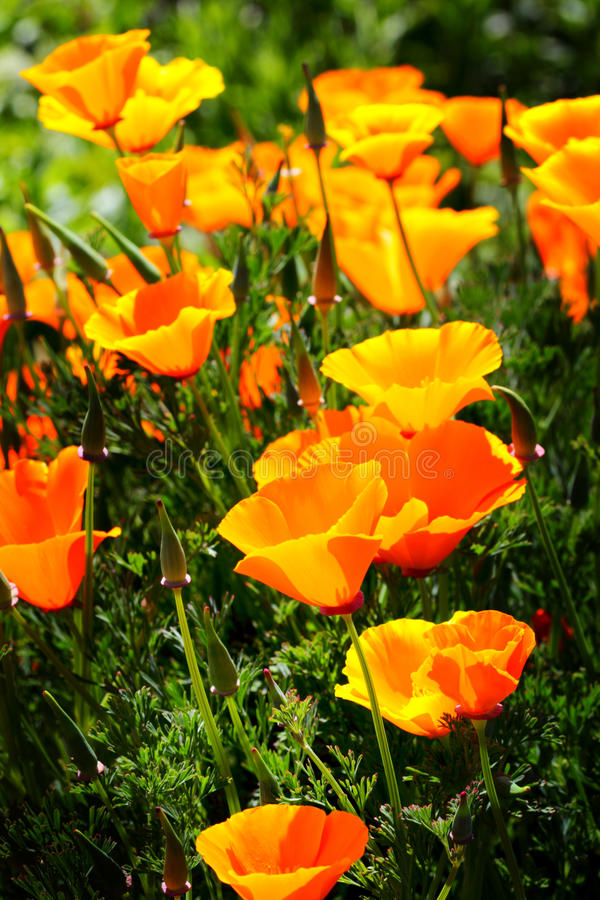 Bright Wild Poppies royalty free stock images