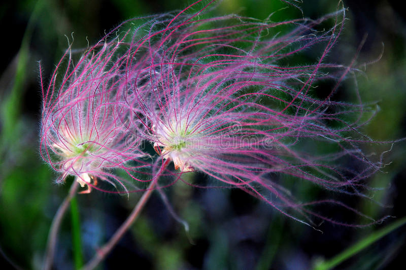 Bright Wildflower Prairie Smoke Blowing In The Wind in Wisconsin, USA stock photography