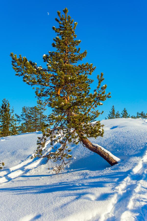 Bright winter day. Bright frosty winter day. Lush snow drifts in a  snow-covered coniferous forest. Concept of active and ecological tourism stock photos