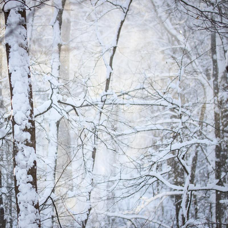 Bright winter forest covered with snow trees under the light of a bright sun. Magical winter forest royalty free stock photos